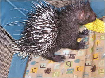 Baby Porcupine Photo